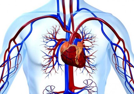 Сердечно-сосудистая система, фото 1