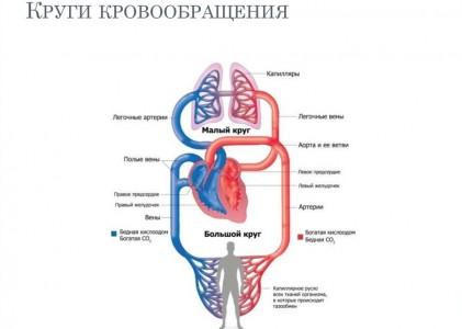 Сердечно-сосудистая система, фото 2