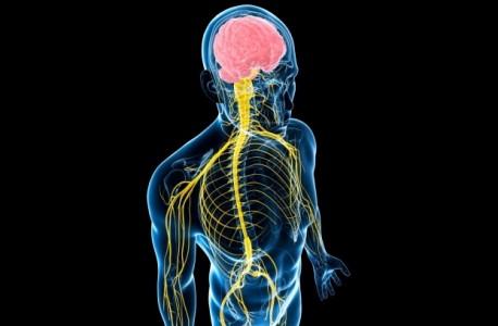 Нервная система, фото 1